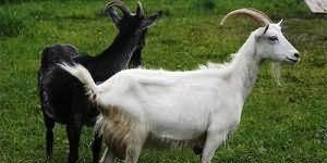 Сонник миллера коза