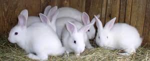 К чему снятся кролики девушке