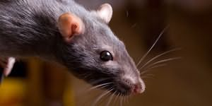 Во сне укусила крыса за ногу