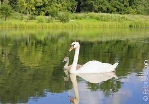Сонник лебеди белые на воде