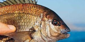 Сонник ловить рыбу руками в чистой воде