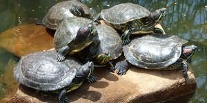 К чему снится черепаха большая в воде