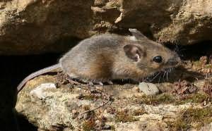 Сонник миллера мышь
