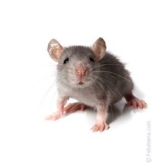 Сонник белая мышка