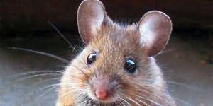 К чему снится мышь маленькая