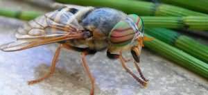Сонник насекомые в волосах