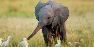 К чему снится маленький слоненок