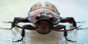 Сонник таракан большой черный