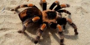 К чему снится большой тарантул
