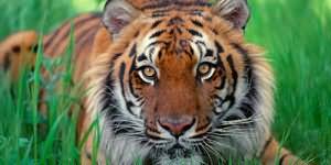 Сонник тигр в доме
