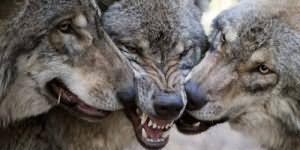 К чему снится белый волк женщине