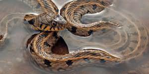 Видеть во сне змею в воде