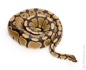 Видеть во сне большую змею
